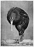 [picture: Apteryx Mantelli.  From a Photograph.]