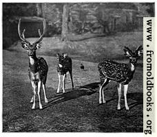 [picture: Axis Deer (Calcutta)]