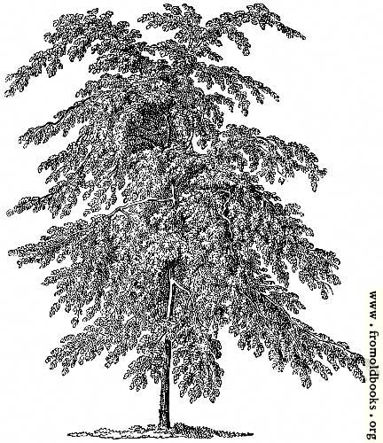 [Picture: Wych Elm.]