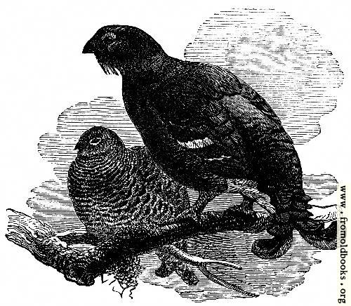 [Picture: The Black Grouse]