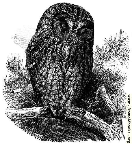[Picture: The Brown Owl (Syrnium Aluco).]