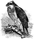 [picture: The Osprey (Pandion)]
