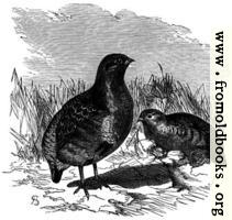 [picture: Partridges.]