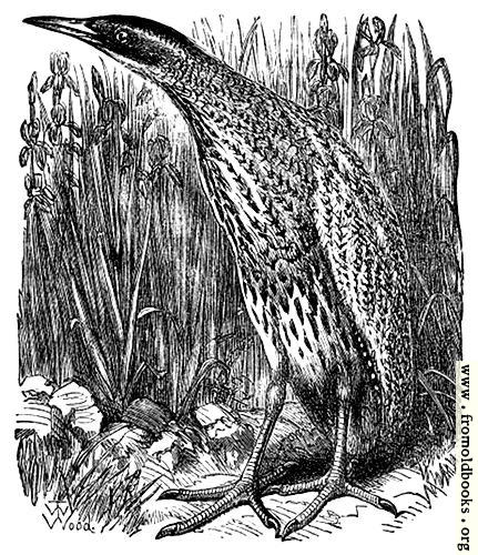 [Picture: The Bittern]